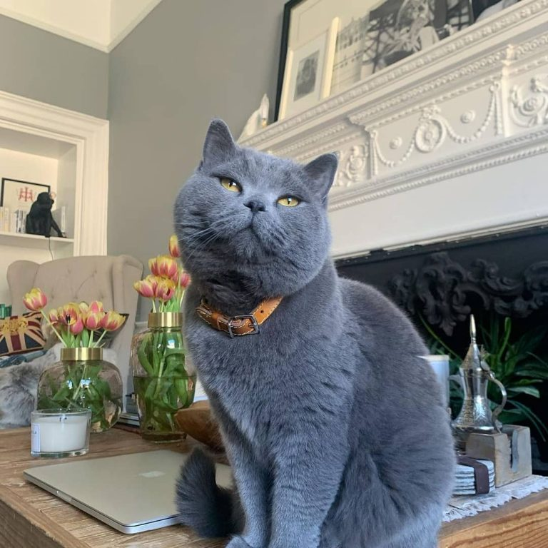 Personality & Traits: Are British Shorthair Cats Affectionate?