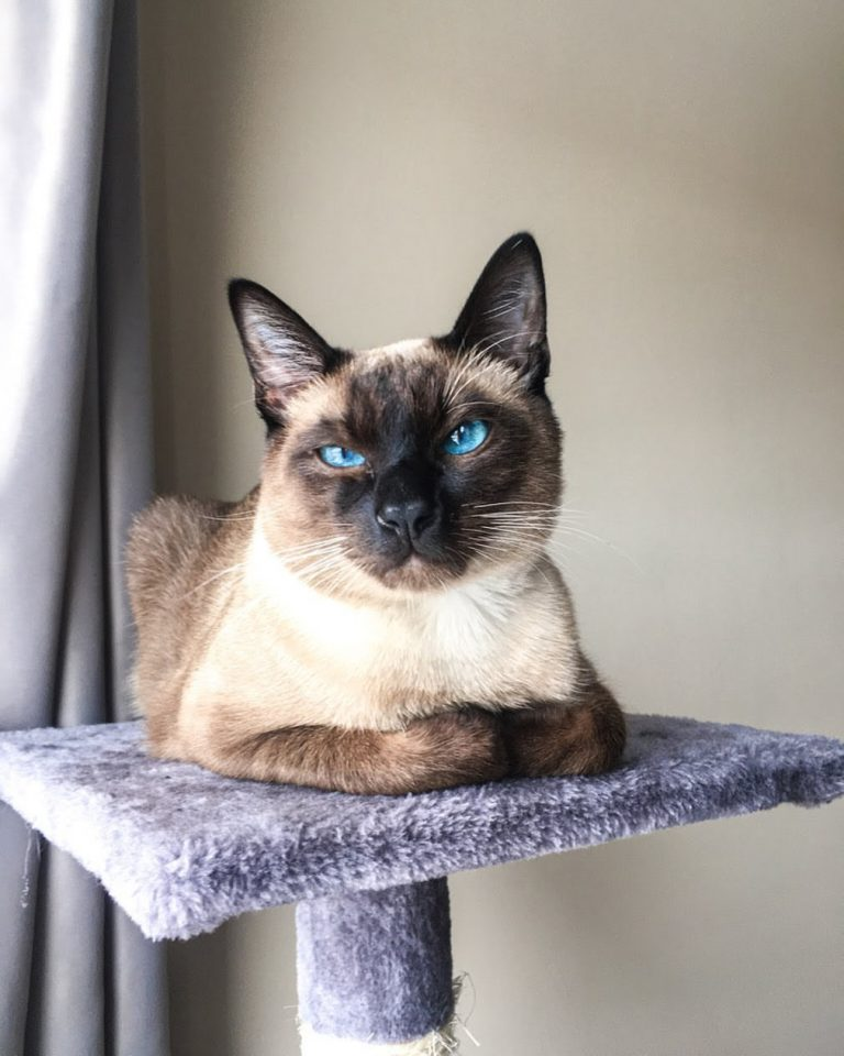 Siamese Cat With White Paws