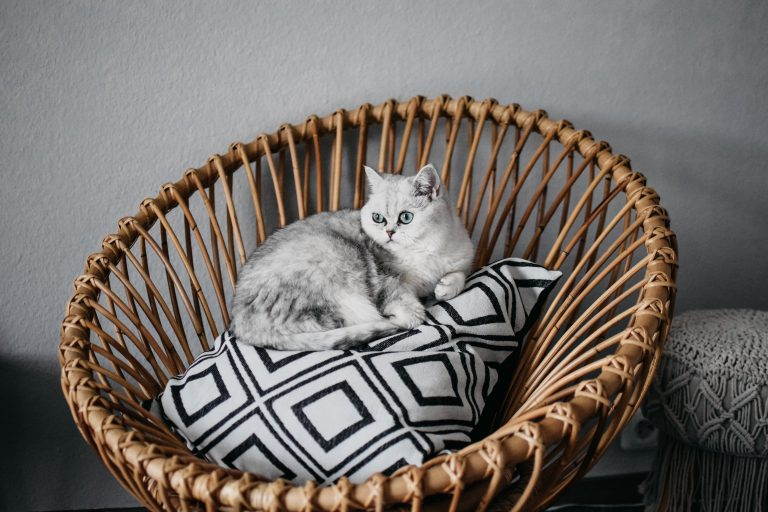 What Kind of Toys do British Shorthair Like?