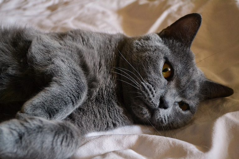 Are British Shorthair Hypoallergenic? (8 Tips for Allergic Families)