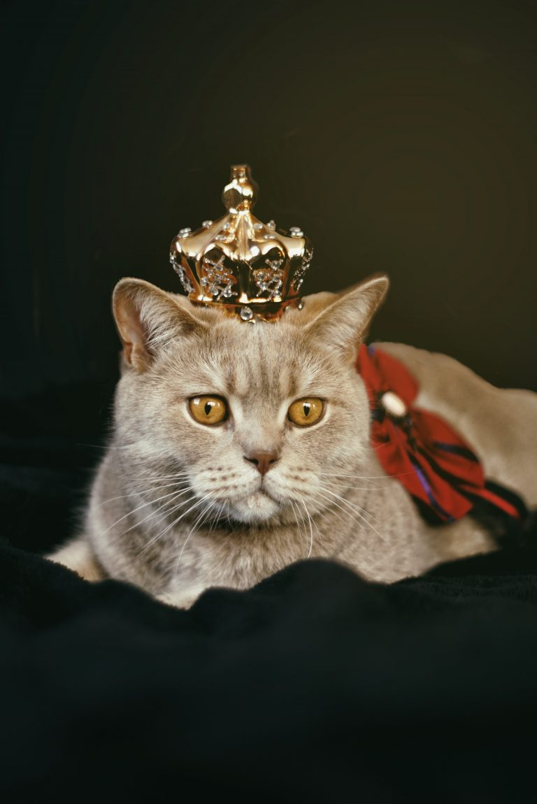 Are British Shorthair Indoor Cats? (6 Reasons They Are)