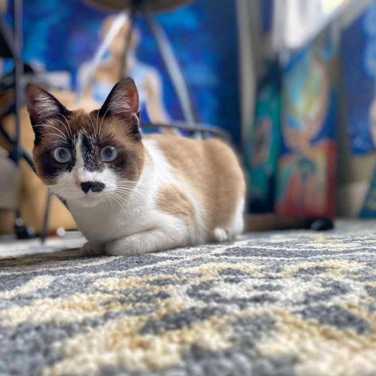 Snowshoe Cat 101: The Essential Guide