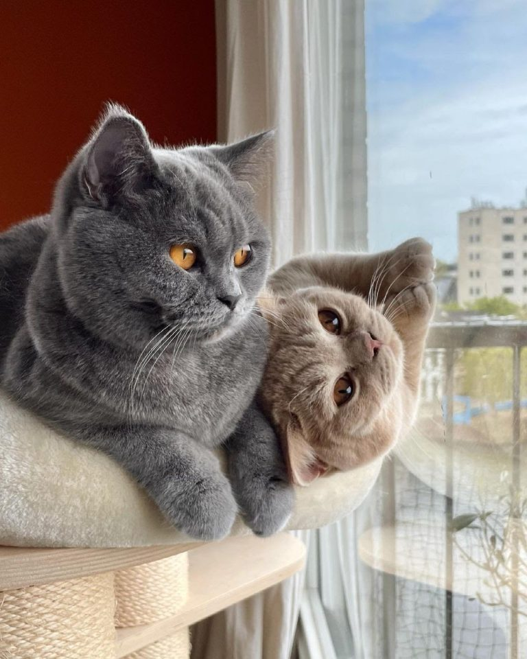 British Shorthair 101: The Essential Guide