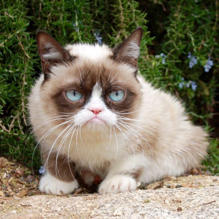 What Kind of Cat Is Grumpy Cat? 9 More Questions Answered