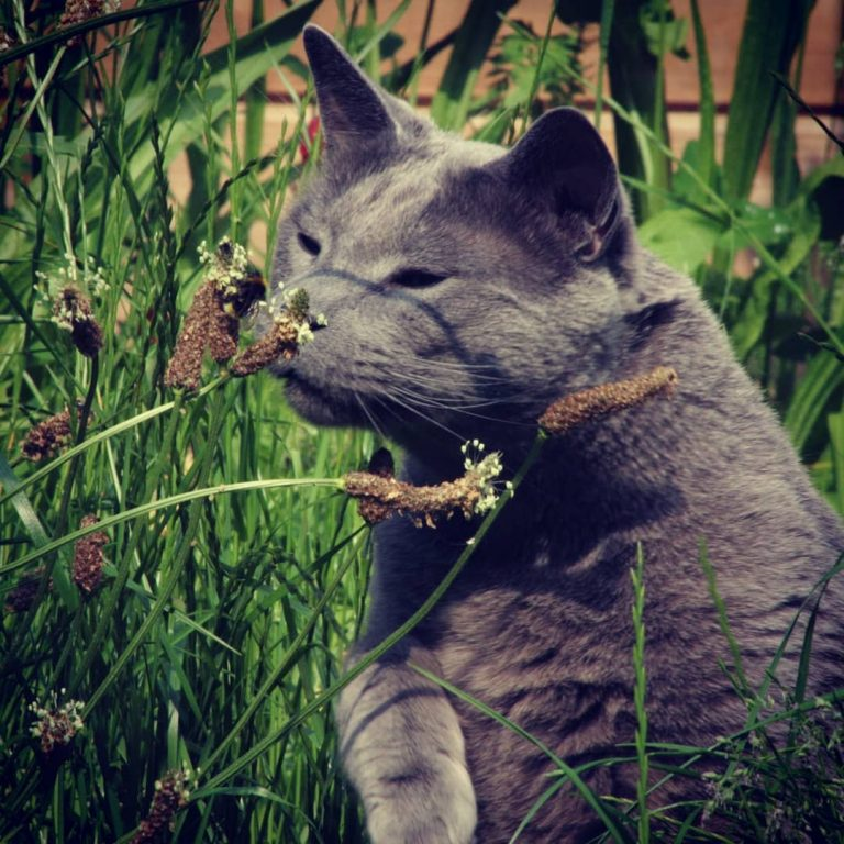 Are Russian Blue Cats Rare? What You Need to Know About Russian Blue Cats