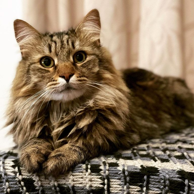How Much Is a Siberian Cat? 7 Reasons Why They're Expensive