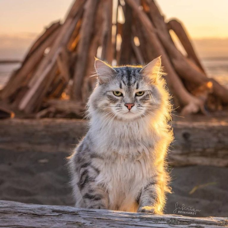Where Can I Buy a Siberian Cat? 7 Best Places to Get Your Russian Cat