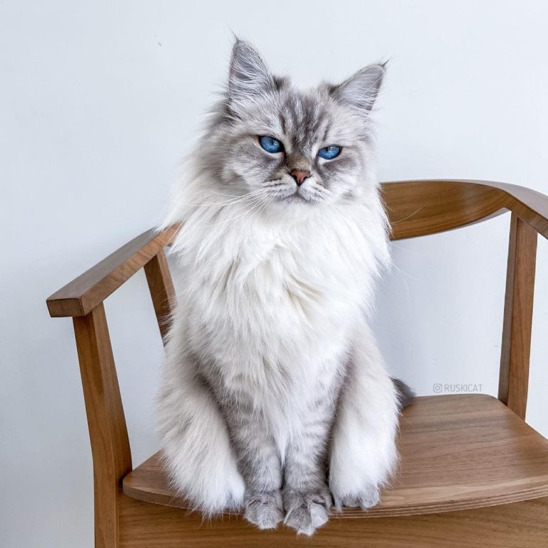 Are Siberian Cats Friendly? 7 Signs That Your Siberian Cat Likes You