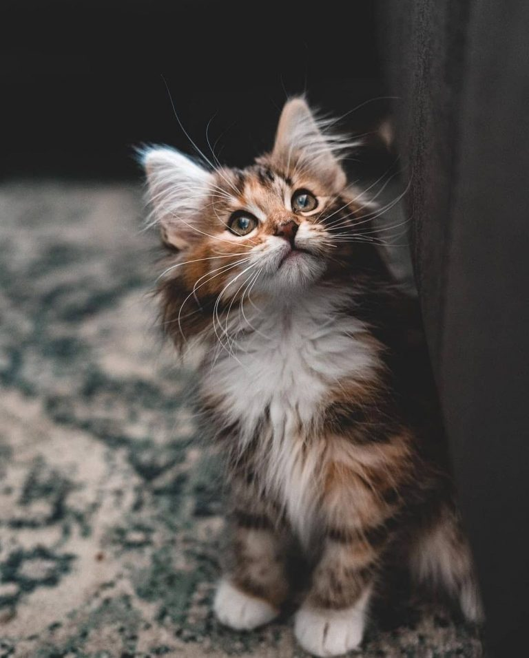 Where Can I Buy a Norwegian Forest Cat? 7 Best Places to Get Your Norwegian Cat