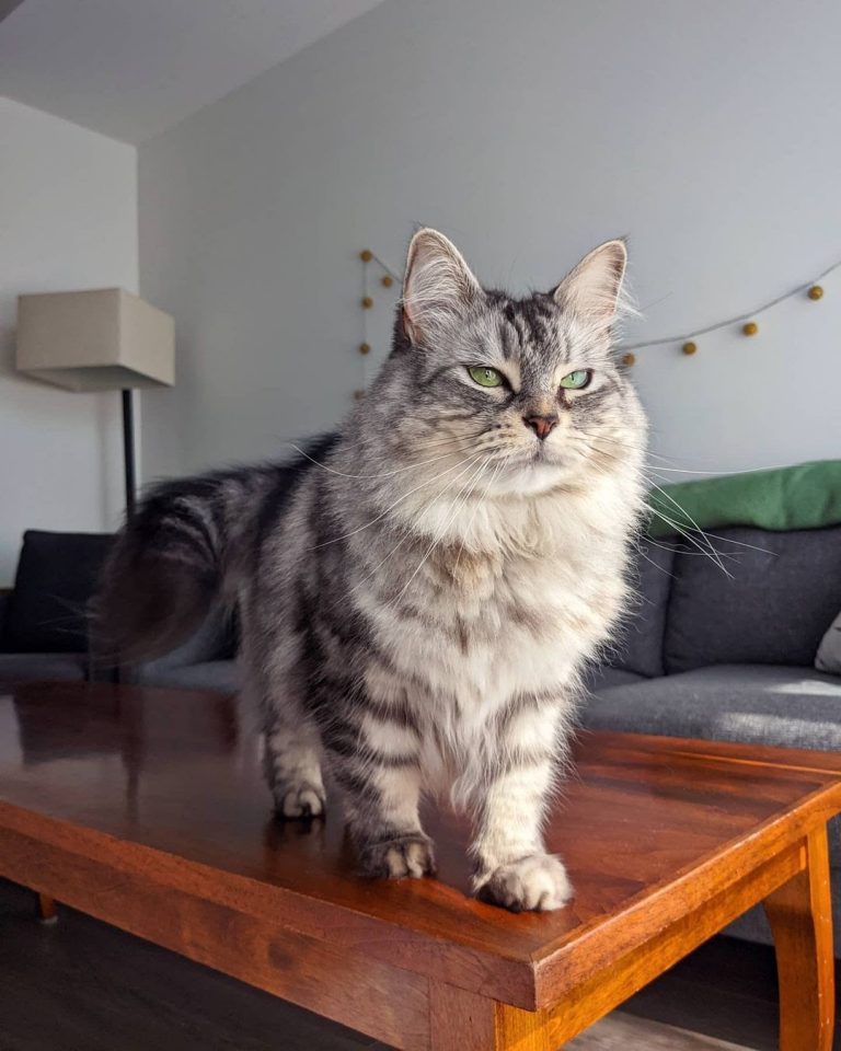 How Big Is a Siberian Cat? His Size Compared to 7 Other Cat Breeds