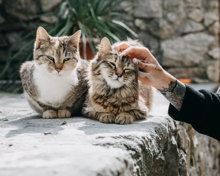 How Much Is a Norwegian Forest Cat