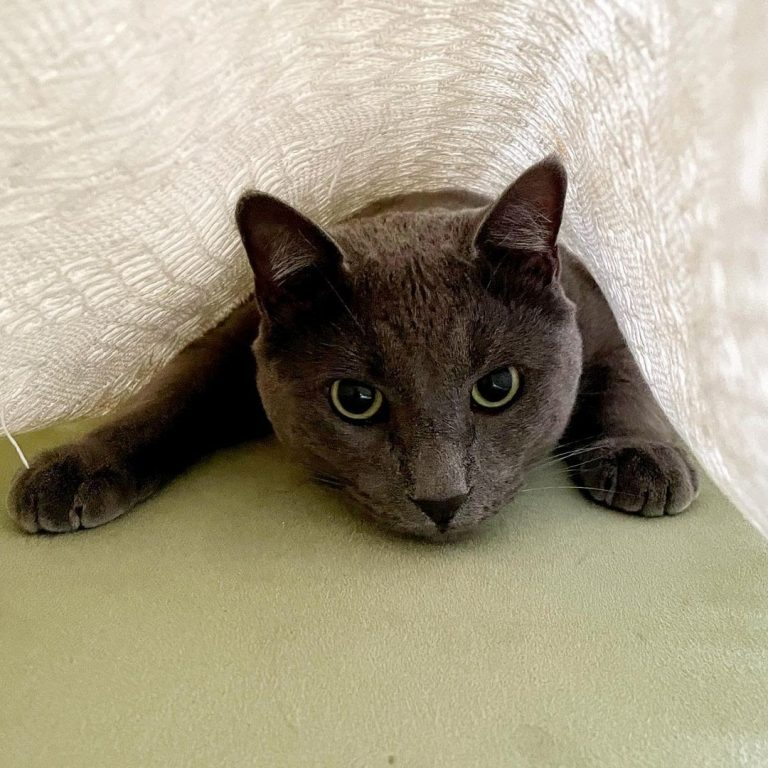 Are Russian Blue Cats Friendly?