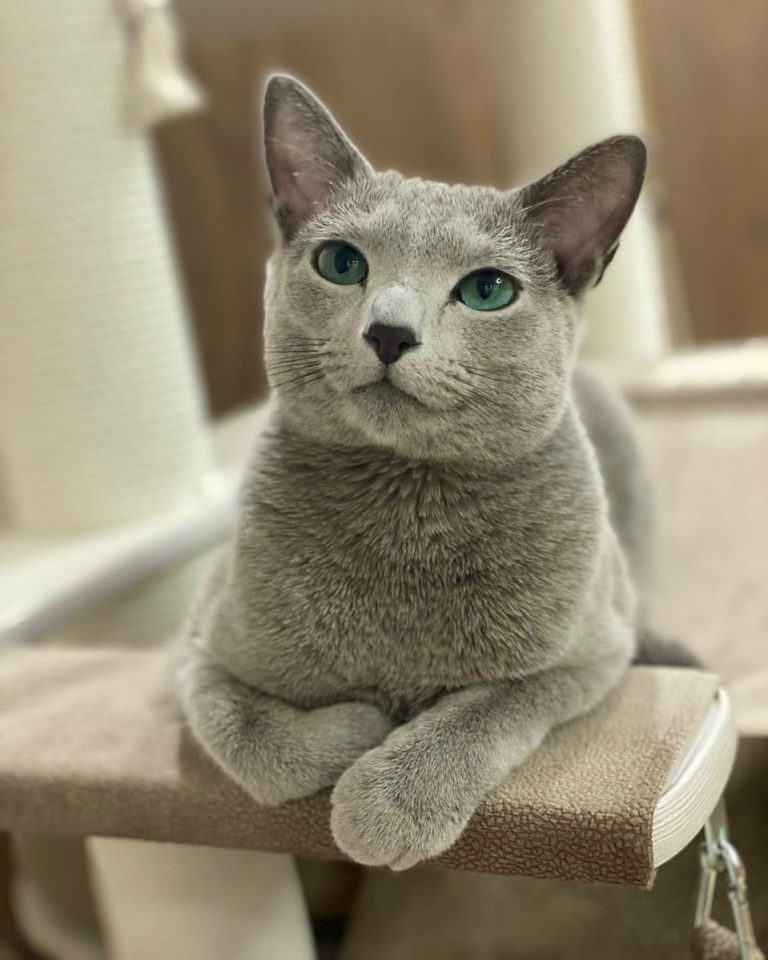 Are Russian Blue Cats Vocal