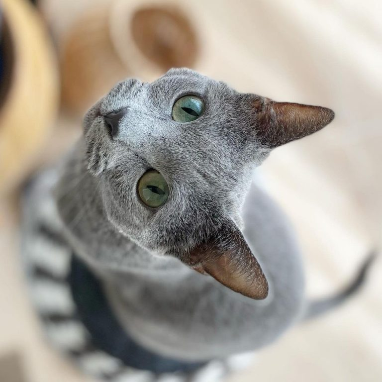 How Long Does the Russian Blue Cat Live?