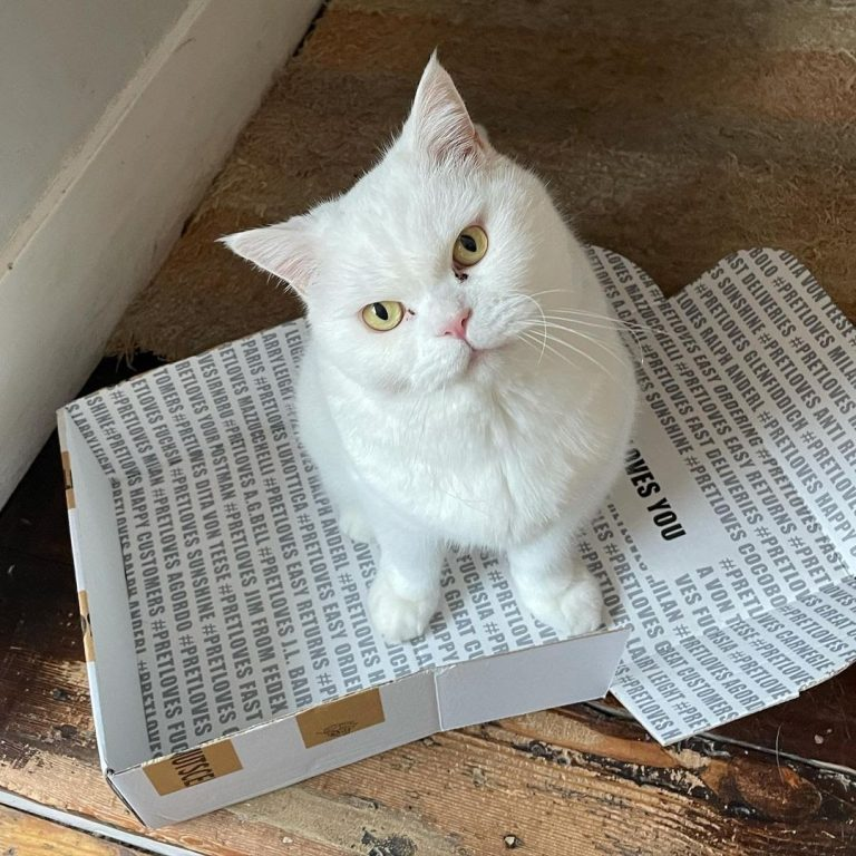 Are British Shorthair Cats Expensive?